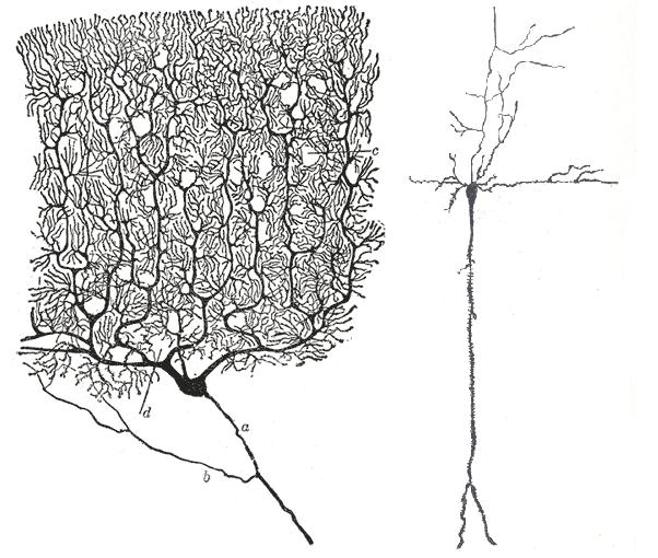 Lernfaehigkeit @ wikimedia.org © Gray's Anatomy, Cell of Purkinje