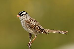 White-crowned-SparrowDachsAmmer @ wikimedia.org